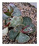 Shop Meeko inamoenus Adromischus - Crassulaceae - 15 Semi
