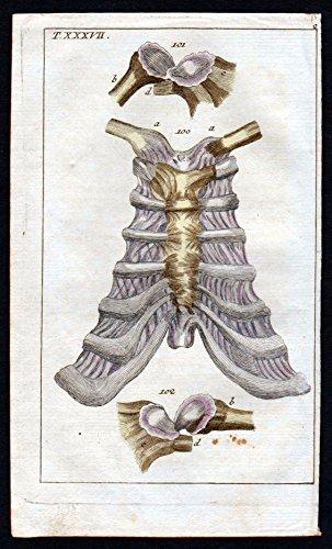 Brustbein sternum ligaments Anatomie anatomy Medizin medicine Kupferstich
