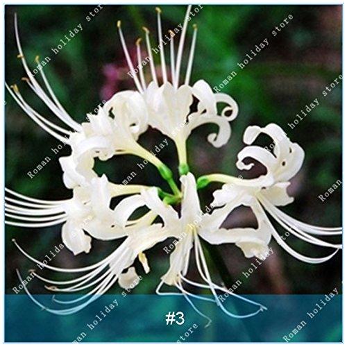 ZLKING 2 ampoules Lycoris Plante en pot Lycoris Radiata Graines de fleurs vivaces Jardiner Planter Mix Couleurs jardin blanc