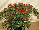 Other : Heirloom Thai Sun Hot Pepper Capsicum Annuum Ornamental Chili Seeds, Professional Pack, 100 Seeds/Pack, Mini Hot Pepper Seeds