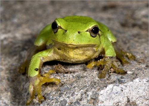 alu-dibond-80-x-60-cm-frog-de-paul-harcourt-davies-science-photo-library