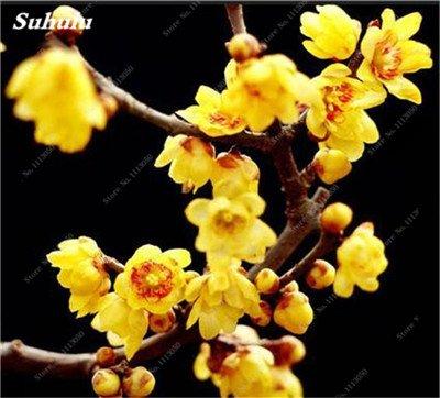 10 Pcs Plum Graines de fleurs, hiver Blooming Fragrant Arbuste Fleur froide Hardy plante, pot intérieur/extérieur Graine Famille Facile à planter 6