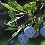 Endrino - Prunus spinosa - 10 Semillas - Spg