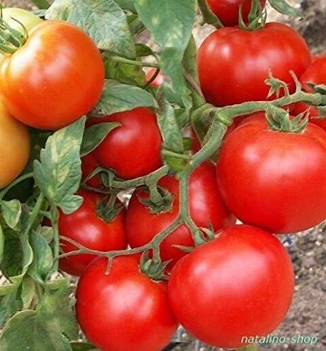 Portal Cool Tomato * Mobil * 10+ Seeds * Low * Hardy Variety Von Ungarn * Tomatensamen