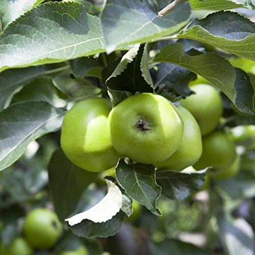 apple-bramley-tree-in-75l-pot
