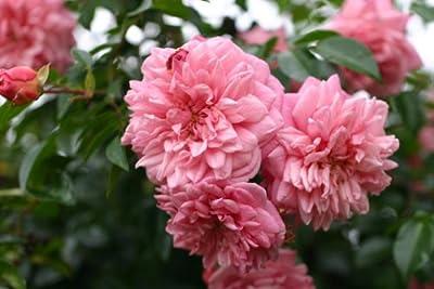 Paul Noel - Container Rose im 7 ltr.Topf von Diverse Züchter - Du und dein Garten