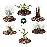 Exotenherz.de, set di piante Tillandsia, confezione da 6