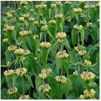 Phlomis russeliana Drought tolerant perennial Turkish Sage 25 Seeds