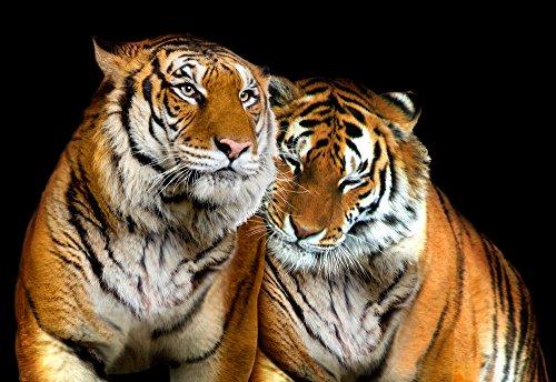 tigre-animale-foto-foto-carta-da-parati-murale-tessuto-non-tessuto-3xl-425-x-254-m-4-teilig