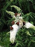 Schmetterlingsstrauch Buddleja White Bouquet 60 cm im 3 Liter Pflanzcontaier
