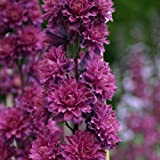 lichtnelke - Rittersporn (Delphinium elatum) 'Flamenco' Highlander Serie