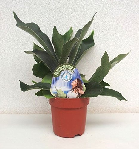 platycerium-bifurcatum-plant-in-a-12cm-pot-staghorn-fern