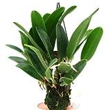 1 blühfähige Orchidee der Sorte: Cattleya Mini