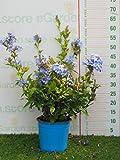 pianta vera da esterno di Plumbago Auriculata azureum v.17