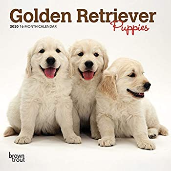 Golden Retriever Puppies 2020 Calendar