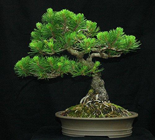 Galleria fotografica Pino Mugo, Pinus mugo Montana, 100 semi di albero (Hardy sempreverdi, bonsai, Potato)