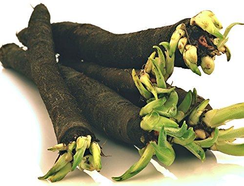 100 Schwarzwurzel Samen, fast vergessene Gemüsesorte, Scorzonera, black salsify