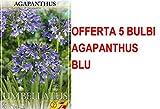 OFFERTA 5 BULBI PRIMAVERILI AGAPANTHUS BLUE BULBS BULBES