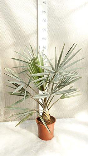 Bismarckia nobilis, Bismarckpalme, Topf Dia. 25cm, Gesamthöhe: 100cm