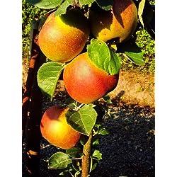 """Dominik Blumen und Pflanzen, Apfelbaum """"Roter Boskoop"""", Busch, 1 Pflanze, ca. 60 - 80 cm hoch, 5 - 7 Liter Container , plus 1 Paar Handschuhe gratis"""