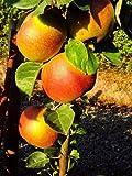 Dominik Blumen und Pflanzen, Apfelbaum 'Roter Boskoop', Busch, 1 Pflanze,  ca. 60 - 80 cm hoch, 5 - 7 Liter Container , plus 1 Paar Handschuhe gratis