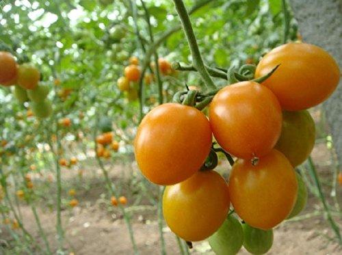 100 pcs Précipité New Plantes d'extérieur Promotion Jardin semences de tomates en pot fruits Bonsai Balcon légumes semences 2