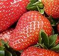 Garten Erdbeere Mieze Schindler - Fragaria ananassa von Baumschule - Du und dein Garten