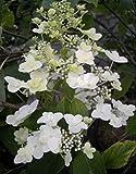 Rispenhortensie Unique - Hydrangea paniculata Unique