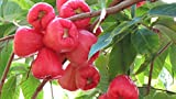 #5: Siam Garden Live Plant ' Rose Water Apple ' Tropical Tasty Fruit Seedling Plant