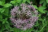 Riesen Zierlauch 15 Samen ★ Der Blickfang im Garten ★