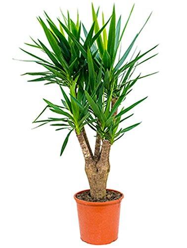 Yucca-Palme große Zimmerpflanze für hellen Standort Yucca elephantipes 1 Pflanze 120-150 cm im 32 cm Topf