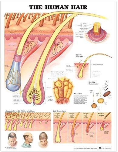 The Human Hair Anatomical Chart por anatomical-chart-company