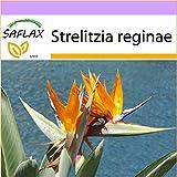 SAFLAX - Uccello del paradiso - 5 semi - Strelitzia reginae