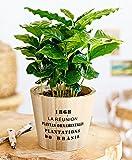 Kaffeepflanze-komplett-Zimmerpflanzen