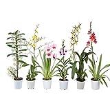 Orchideen/Phalaenopsis abgeblüht