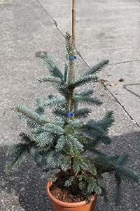 "Conifère de jardin - Picea Pungens ""Hoopsii"" - Grande plante, hauteur 90cm"