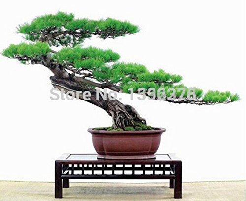 CHAUD! Livraison gratuite 30pcs 100% Véritable frais japonais Pine Tree Seeds