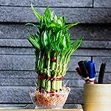 Ugaoo Lucky Bamboo 2 Layer Plant
