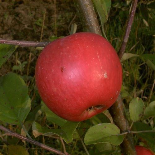 Apfel cm Topf