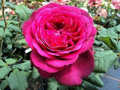 Edelrose Johann Wolfgang von Goethe Rose ® - Containerrosen im großen 7,5 Liter Topf von Gartencenter Bartels bei Du und dein Garten