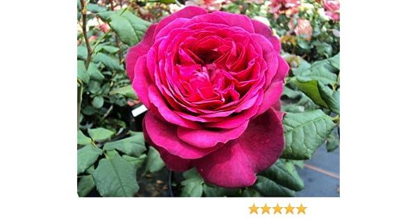 Edelrose Johann Wolfgang von Goethe Rose Tantau purpur-violette Bl/üten 1 Pflanze 2 Liter Topf
