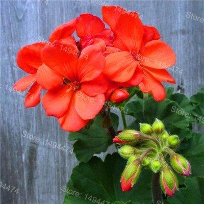 Galleria fotografica SwansGreen 200pcs/bag Gerani rari semi colore misto semi di bonsai fiori Appleblossom Rosebud semi di Pelargonium perenne fiore 12