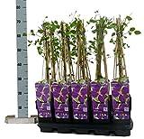 Clematis Kletterpflanzen (Waldrebe), ca. 65cm hoch, im Topf gewachsen, (Sorte: Jackmanii (violettblau))