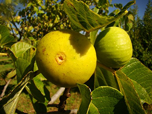 fig-tree-ficus-carica-pedro-yellow-skin-creamy-flesh-droplet-shaped-fruited-variety-very-cold-tolera
