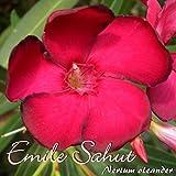 Oleander 'Emile Sahut' - Nerium oleander - Größe C03