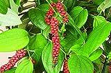 Portal Cool Nero/Bianco Pepe (Piper nigrum) per coltivare/Germogliare freschi 5 Seeds