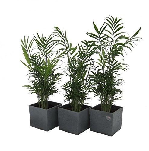 Amazon.de Pflanzenservice Zimmerpflanzen 3-er Set Zimmerpalmen im Scheurich Würfel-Topf anthrazit-stone, circa 14 x 14 x 14 cm, grün