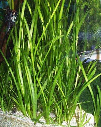 Italian Val - Vallisneria spiralis - Live Aquarium Plants 2