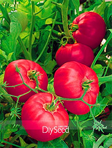 Time-Limit !! Rare Marque Boy Hybrid Seeds Rose Rose Big Tomate, 100 Pcs / Lot, Tasty Rich Brandywine Flavor Tomate, # 9SPU41