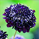 Kings Seeds Bild Paket Scabiosa Wolfsmilch Black Knight 100 Samen
